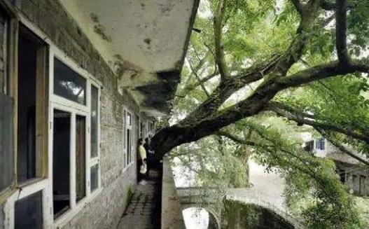 重庆一400年的老树穿楼生长,场面太壮观!