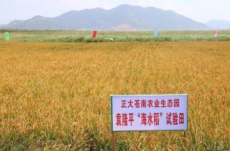 海水稻今年種植面積預計為十萬畝,同時會改造土地一百萬畝