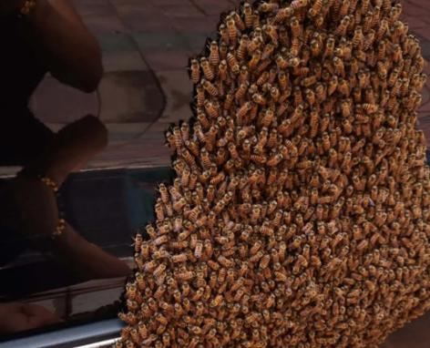 上千只蜜蜂在寶馬車上筑巢