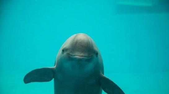 野生动物保护名录修订,预计江豚或将升为一级,黄胸鹀升为二级