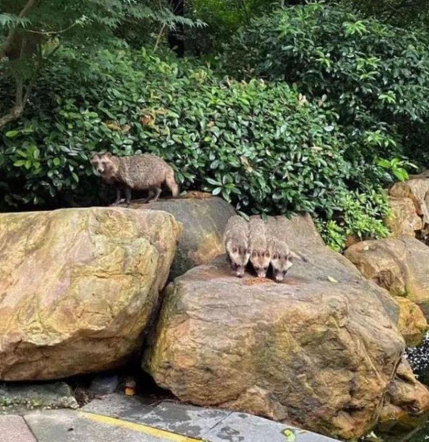上海市松江区野生貉大量繁殖,有居民投喂猫粮,人与貉和谐相处