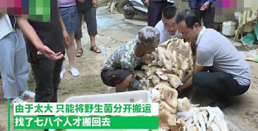 云南一村民上山,卻意外發現巨型菌,重達300多斤